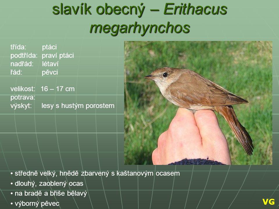slavík obecný – Erithacus megarhynchos