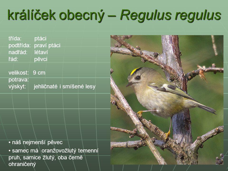 králíček obecný – Regulus regulus