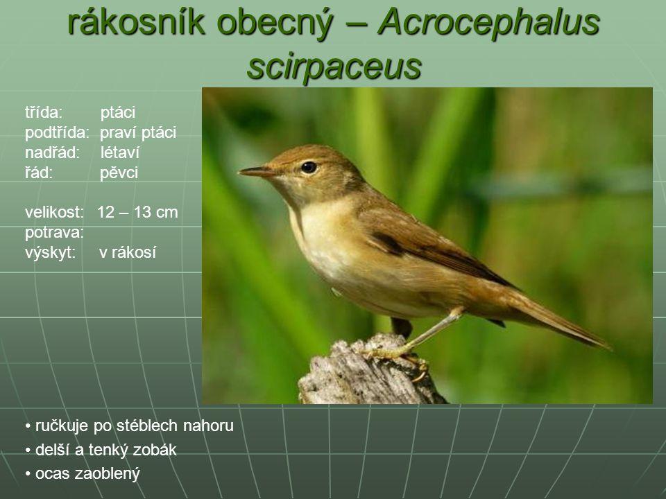rákosník obecný – Acrocephalus scirpaceus