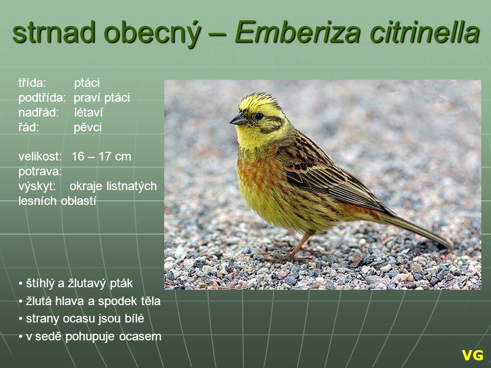 strnad obecný – Emberiza citrinella