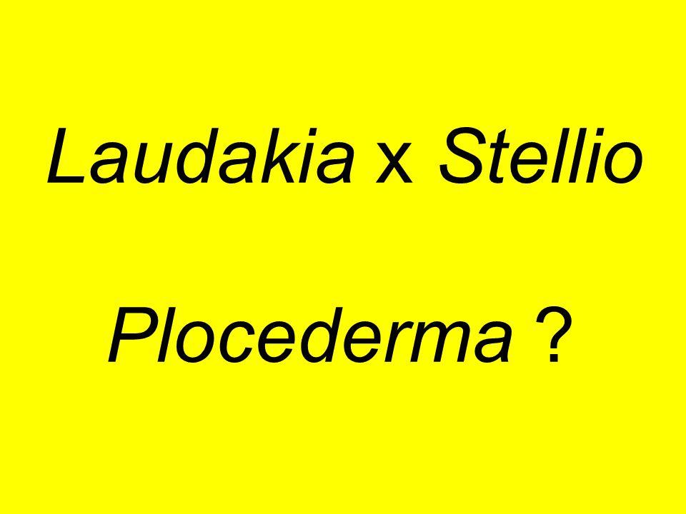 Laudakia x Stellio Plocederma