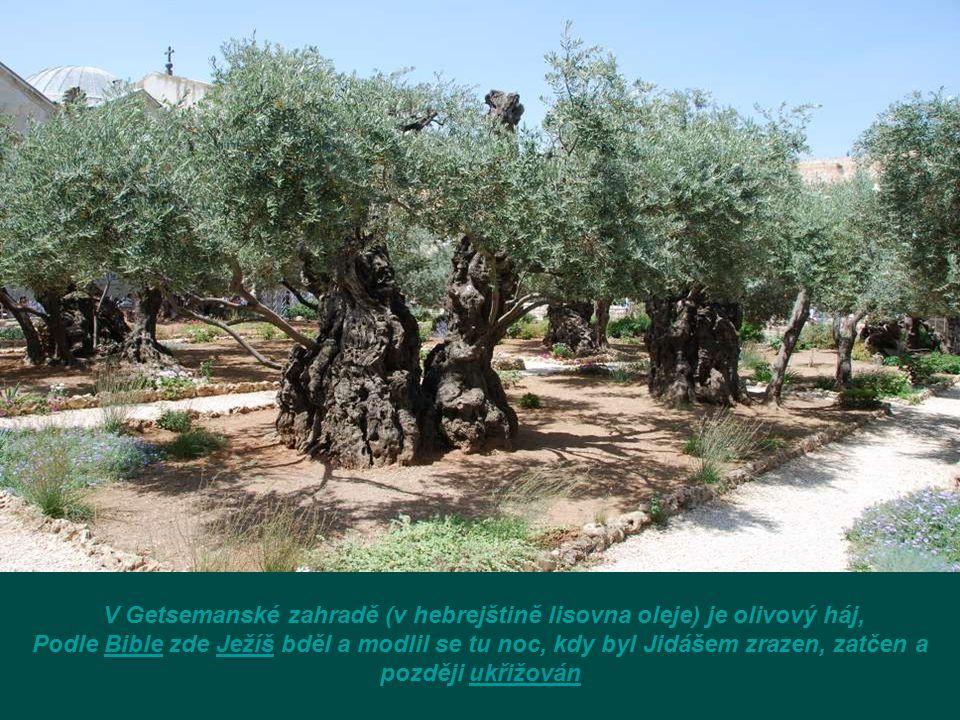 V Getsemanské zahradě (v hebrejštině lisovna oleje) je olivový háj,