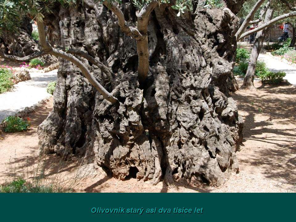 Olivovník starý asi dva tisíce let