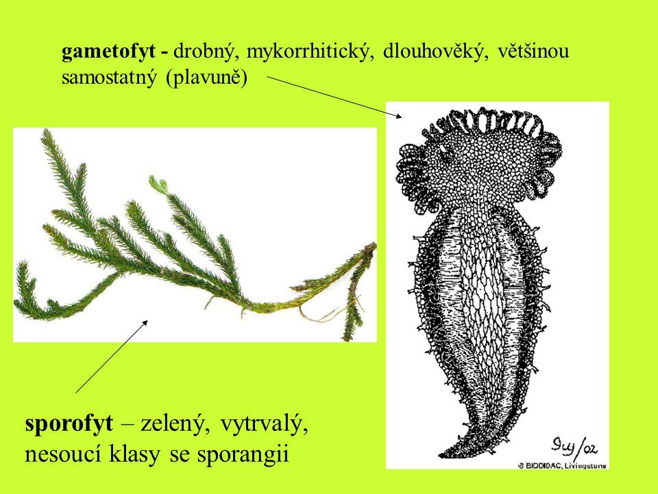 sporofyt – zelený, vytrvalý, nesoucí klasy se sporangii