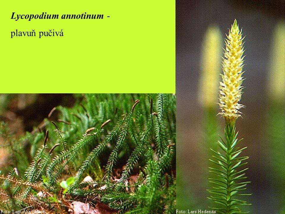 Lycopodium annotinum -