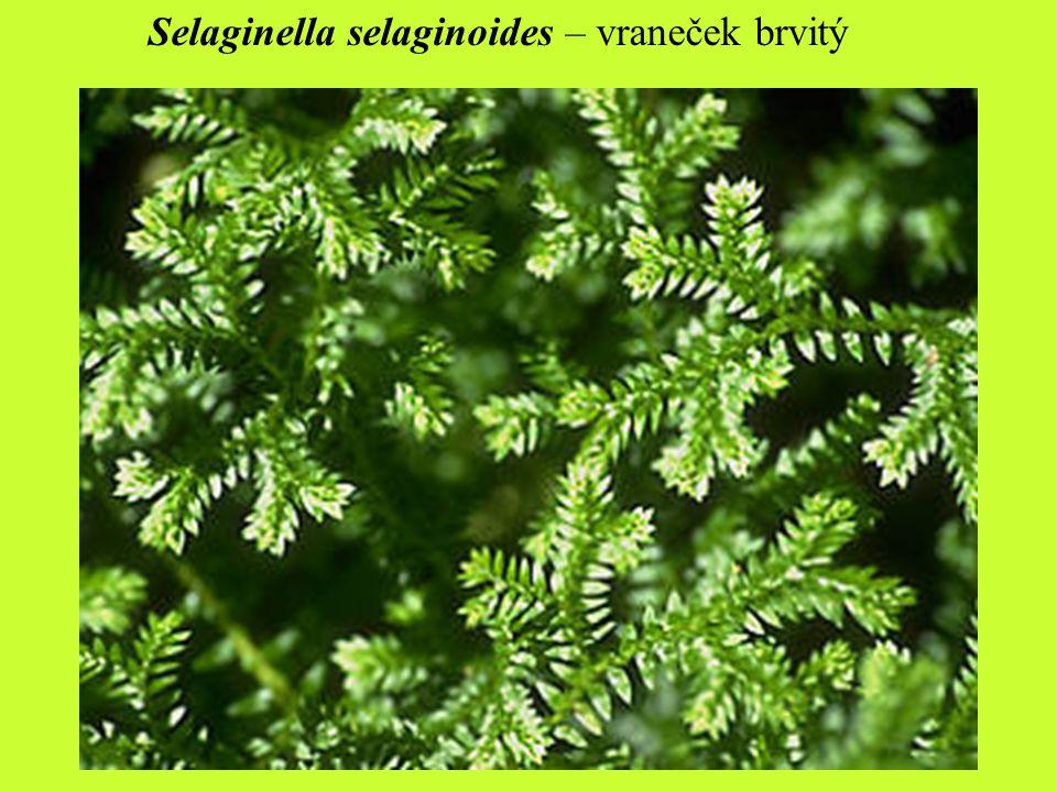 Selaginella selaginoides – vraneček brvitý