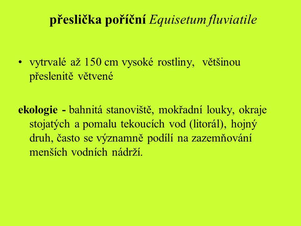 přeslička poříční Equisetum fluviatile