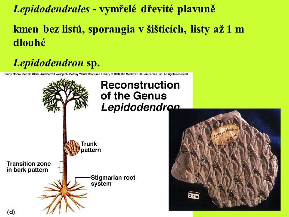 Lepidodendrales - vymřelé dřevité plavuně