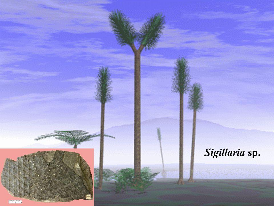 Sigillaria sp.