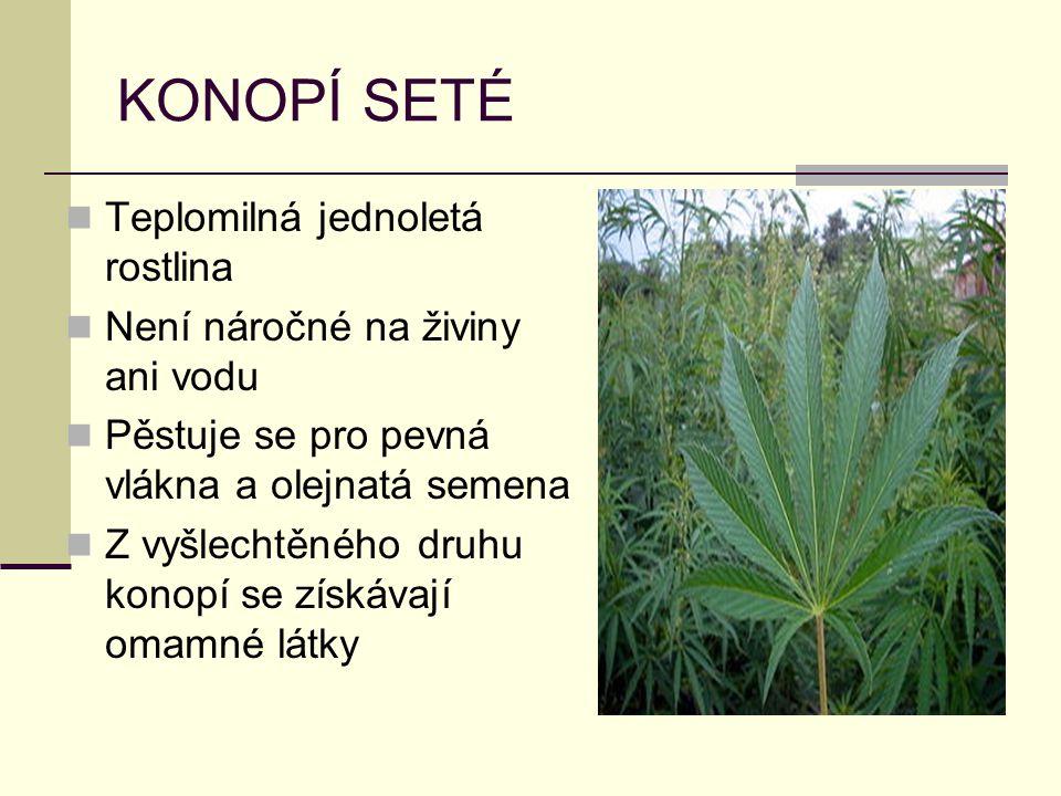 KONOPÍ SETÉ Teplomilná jednoletá rostlina