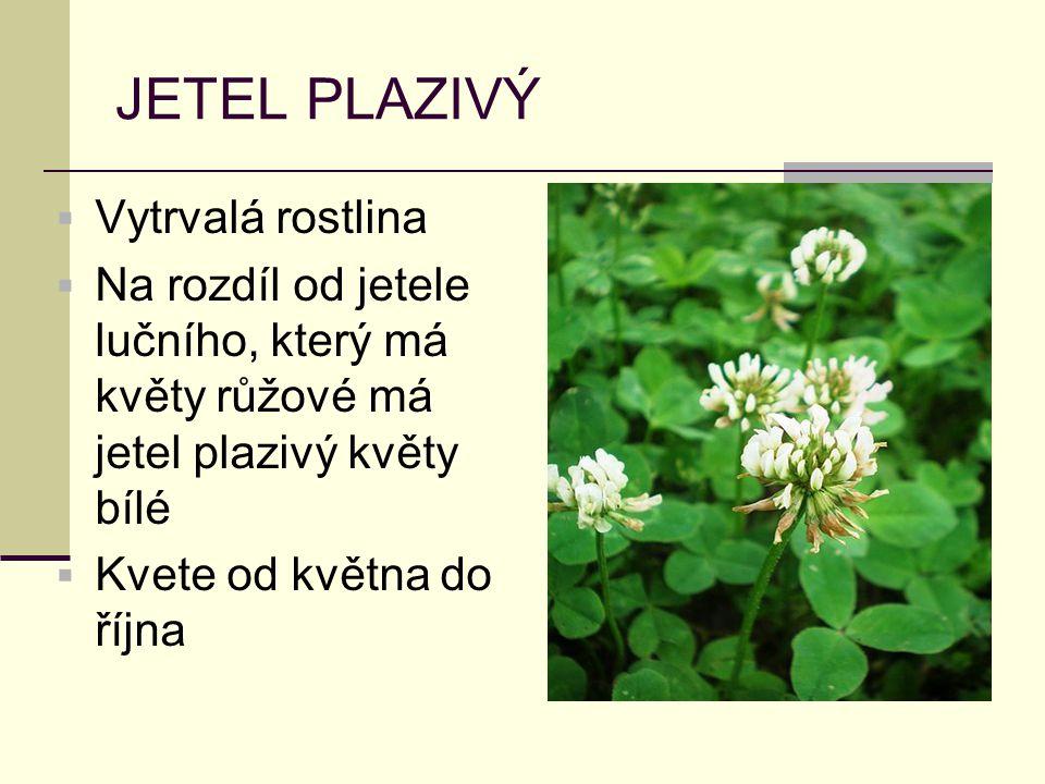 JETEL PLAZIVÝ Vytrvalá rostlina