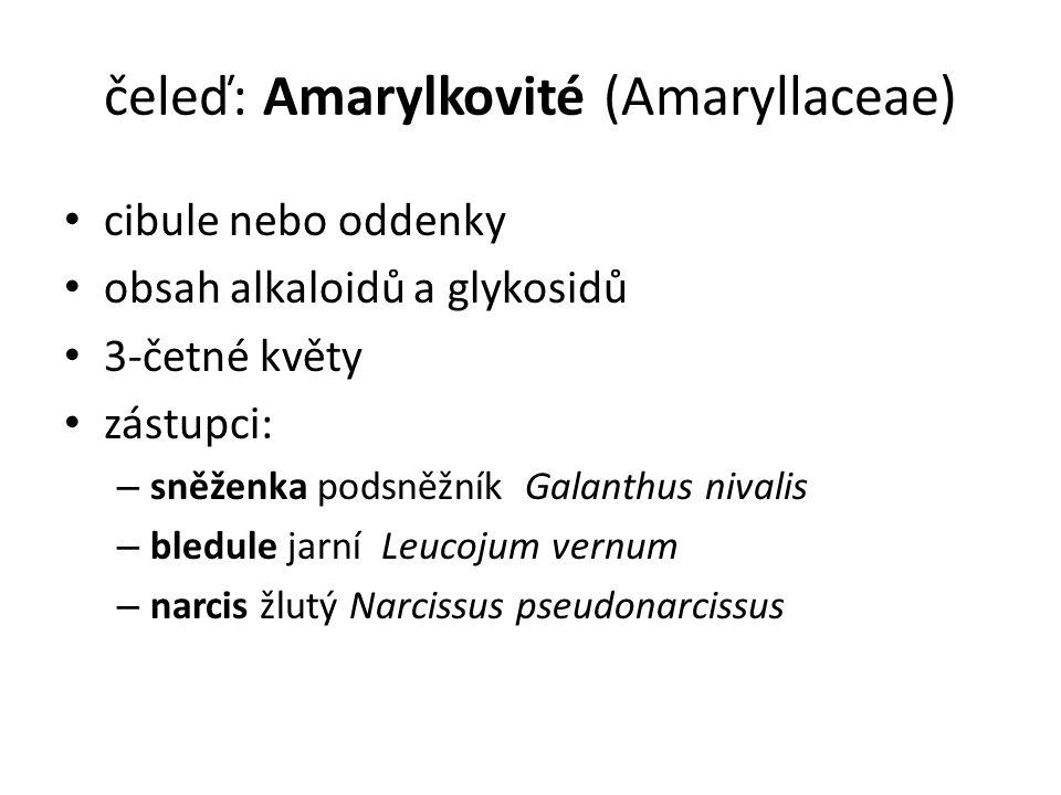 čeleď: Amarylkovité (Amaryllaceae)