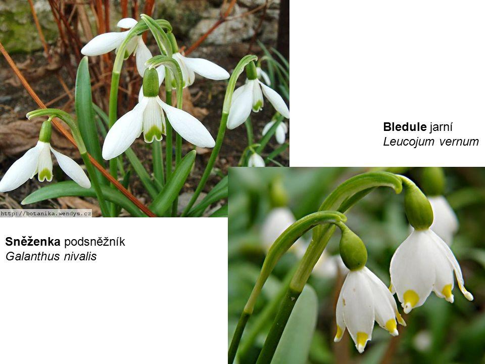 Bledule jarní Leucojum vernum Sněženka podsněžník Galanthus nivalis