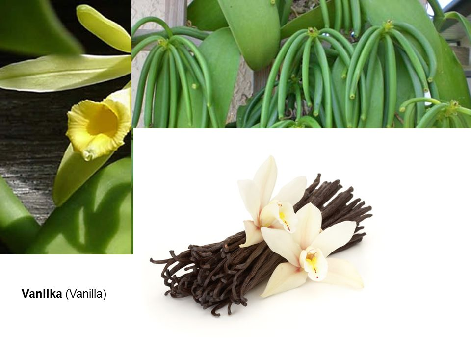 Vanilka (Vanilla)