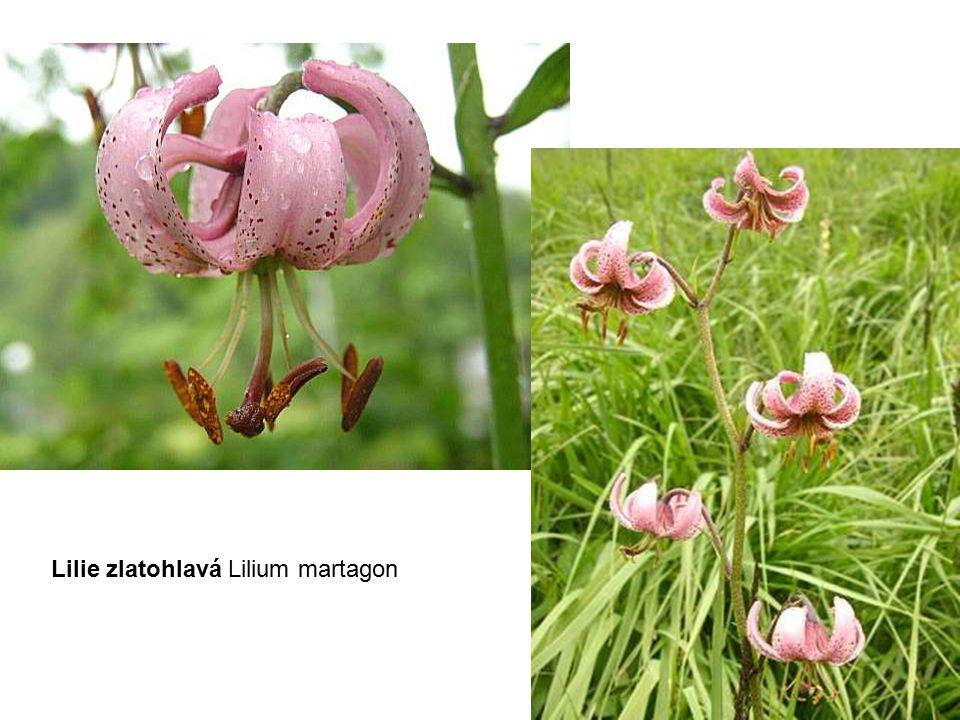 Lilie zlatohlavá Lilium martagon
