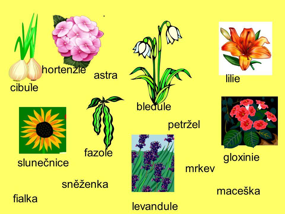 hortenzie astra lilie cibule bledule petržel fazole gloxinie