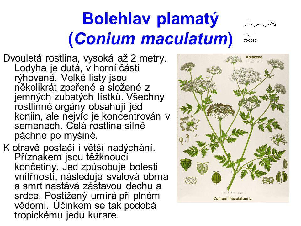 Bolehlav plamatý (Conium maculatum)