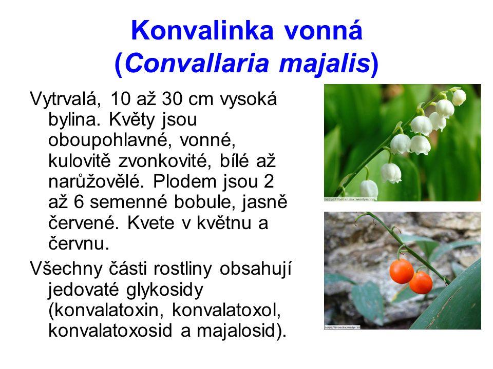 Konvalinka vonná (Convallaria majalis)