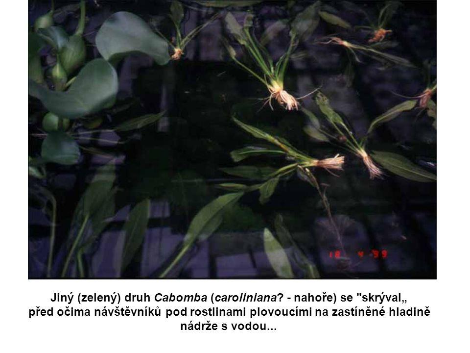 """Jiný (zelený) druh Cabomba (caroliniana - nahoře) se skrýval"""""""