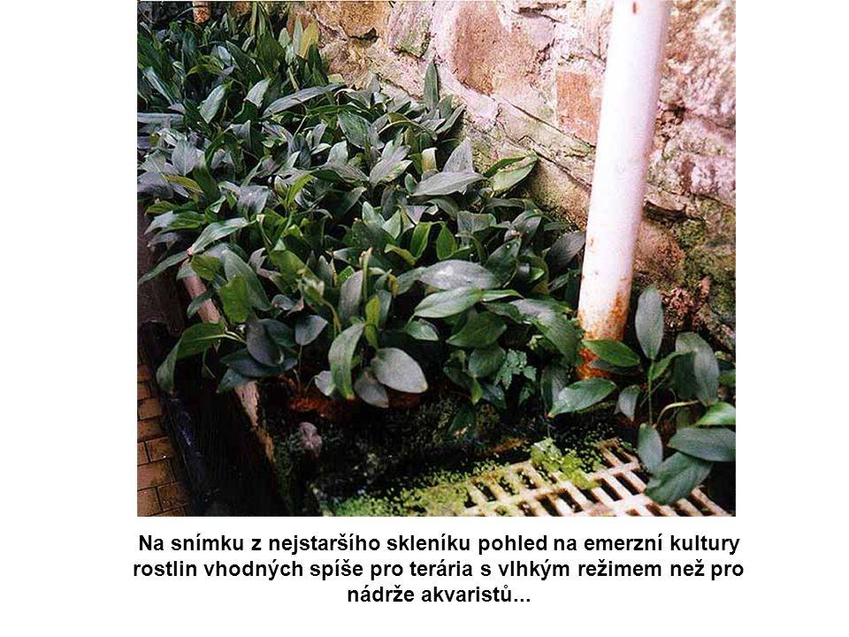 Na snímku z nejstaršího skleníku pohled na emerzní kultury rostlin vhodných spíše pro terária s vlhkým režimem než pro nádrže akvaristů...