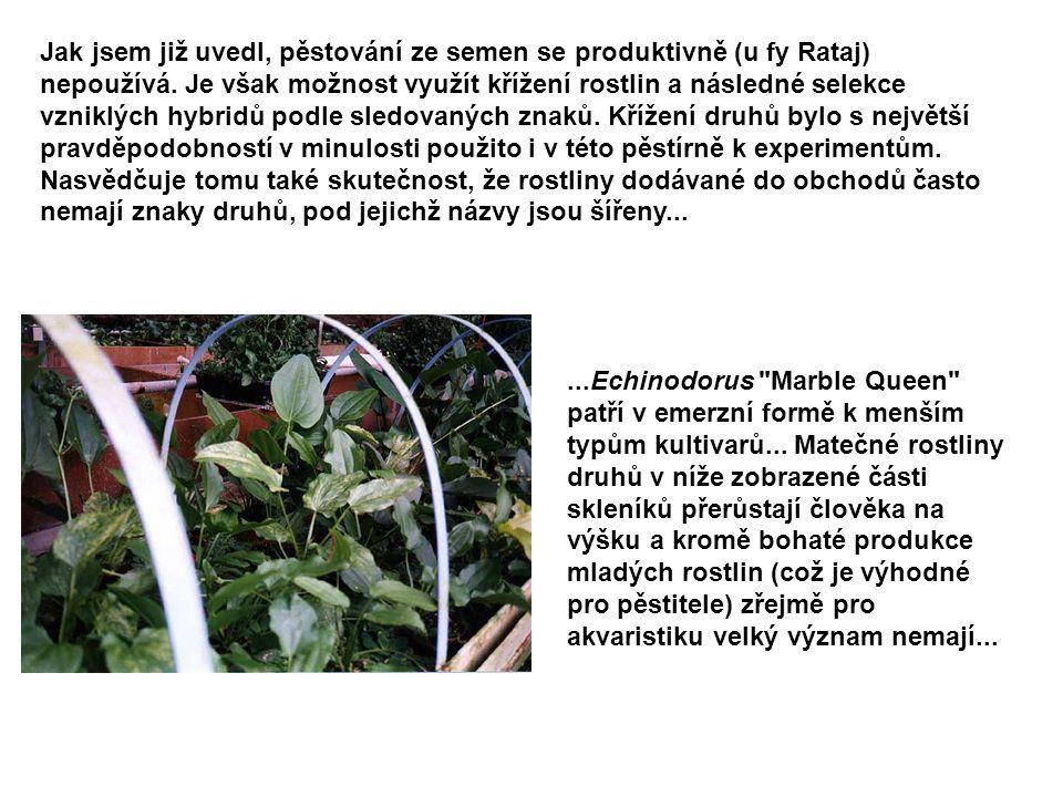 Jak jsem již uvedl, pěstování ze semen se produktivně (u fy Rataj) nepoužívá. Je však možnost využít křížení rostlin a následné selekce vzniklých hybridů podle sledovaných znaků. Křížení druhů bylo s největší pravděpodobností v minulosti použito i v této pěstírně k experimentům. Nasvědčuje tomu také skutečnost, že rostliny dodávané do obchodů často nemají znaky druhů, pod jejichž názvy jsou šířeny...