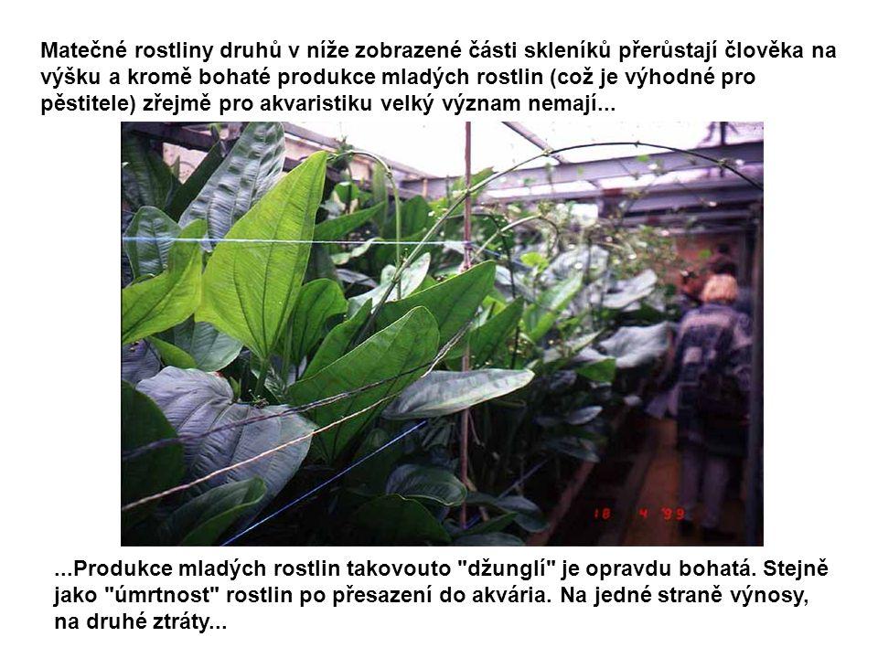 Matečné rostliny druhů v níže zobrazené části skleníků přerůstají člověka na výšku a kromě bohaté produkce mladých rostlin (což je výhodné pro pěstitele) zřejmě pro akvaristiku velký význam nemají...