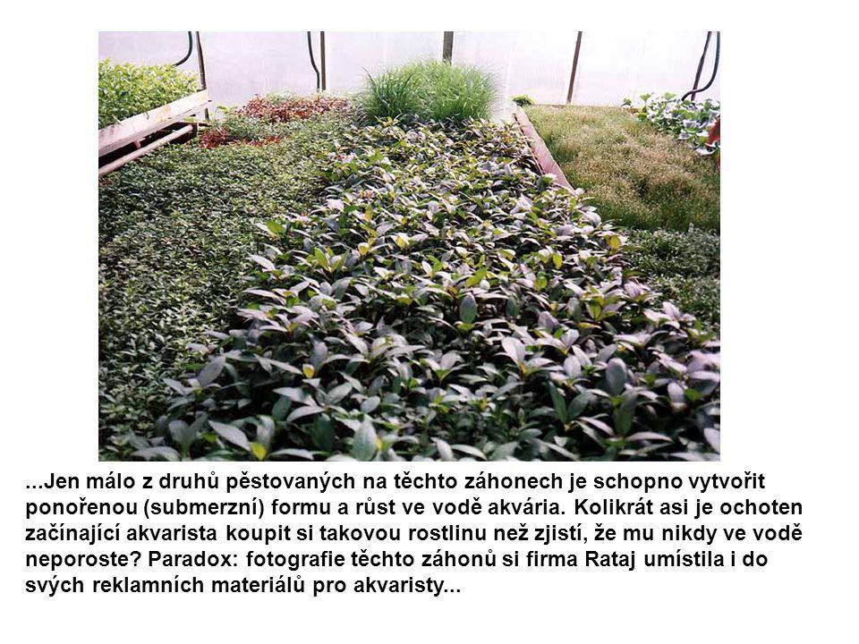 ...Jen málo z druhů pěstovaných na těchto záhonech je schopno vytvořit ponořenou (submerzní) formu a růst ve vodě akvária.