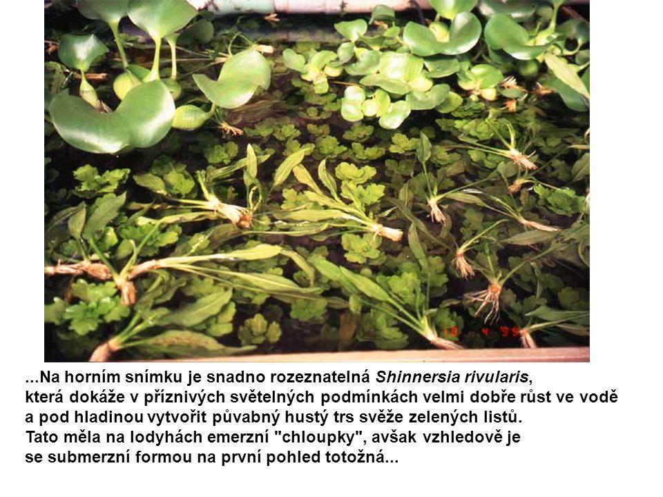 ...Na horním snímku je snadno rozeznatelná Shinnersia rivularis,