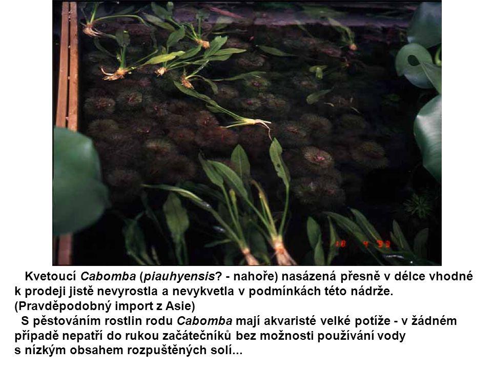 Kvetoucí Cabomba (piauhyensis - nahoře) nasázená přesně v délce vhodné