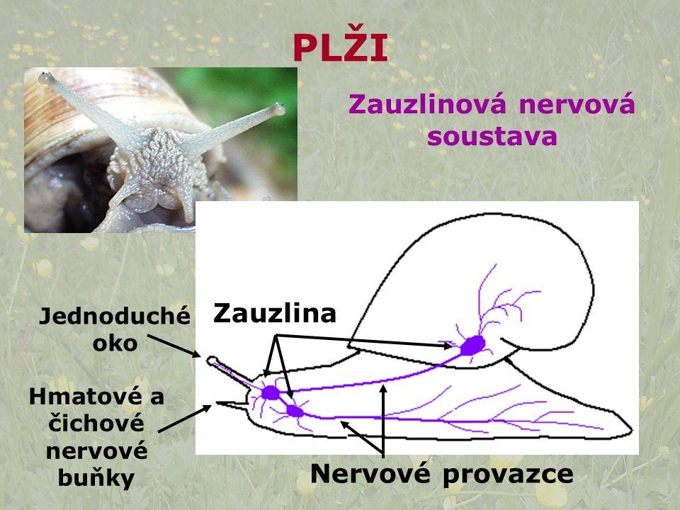 Zauzlinová nervová soustava Hmatové a čichové nervové buňky