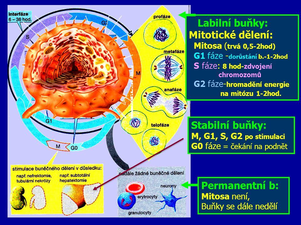 Labilní buňky: Mitotické dělení: Stabilní buňky: Permanentní b: