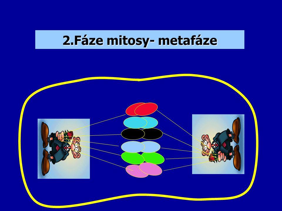 2.Fáze mitosy- metafáze