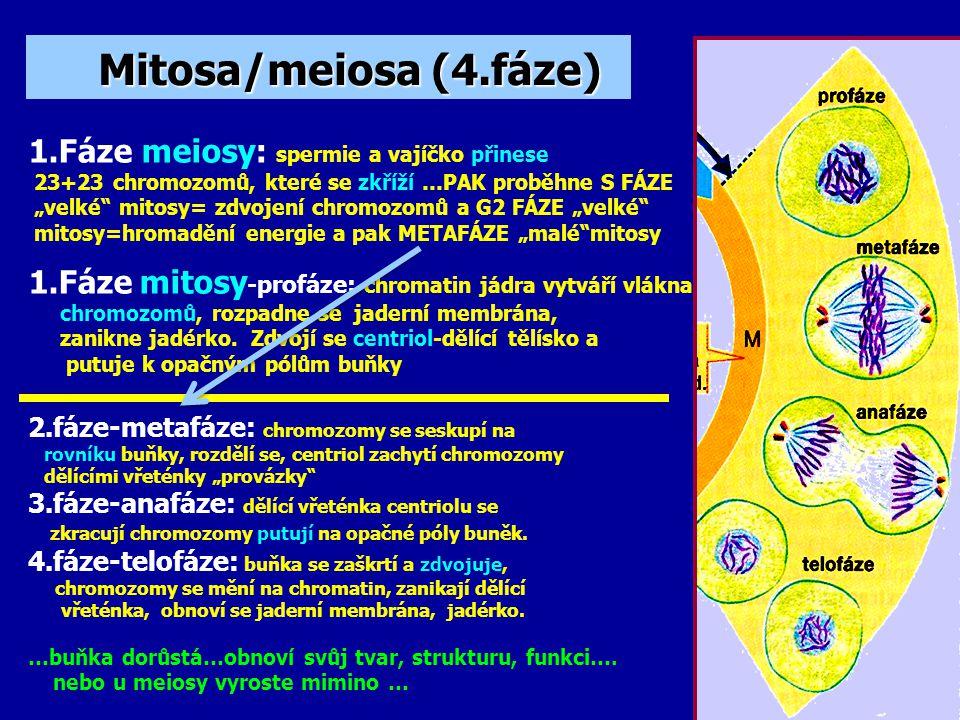 Mitosa/meiosa (4.fáze) 1.Fáze meiosy: spermie a vajíčko přinese
