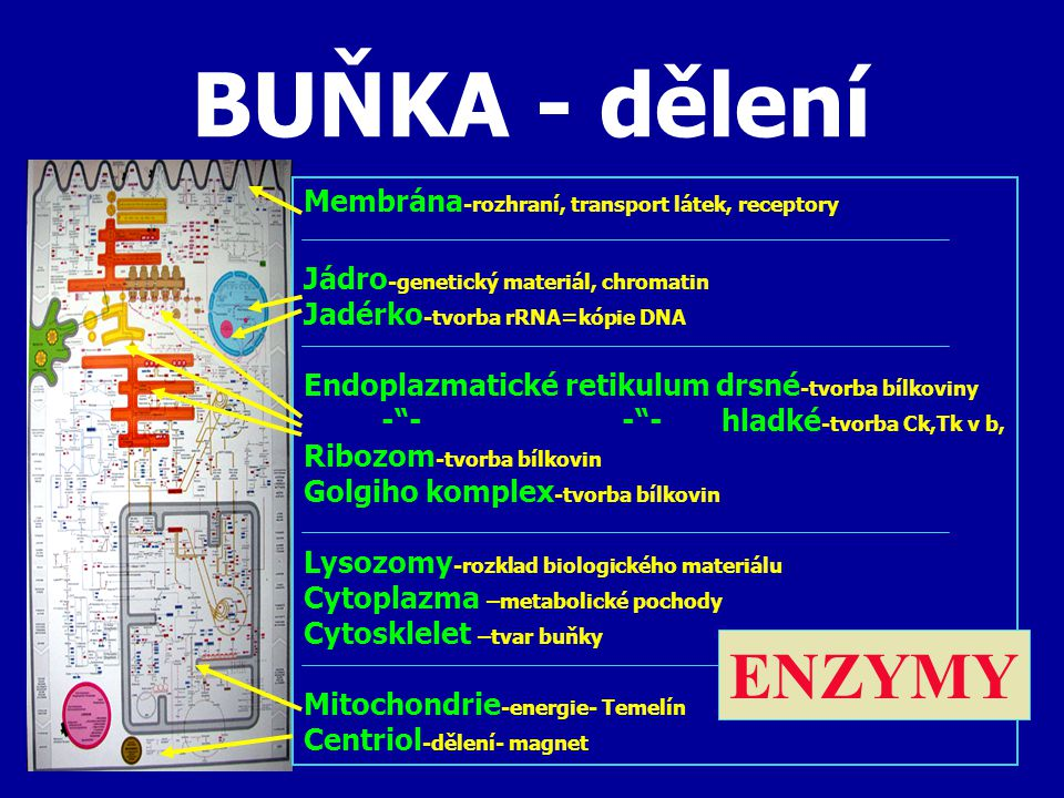 BUŇKA - dělení ENZYMY Membrána-rozhraní, transport látek, receptory