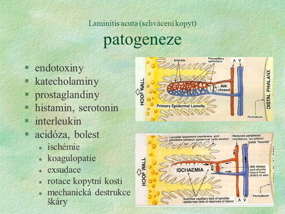 Laminitis acuta (schvácení kopyt) patogeneze