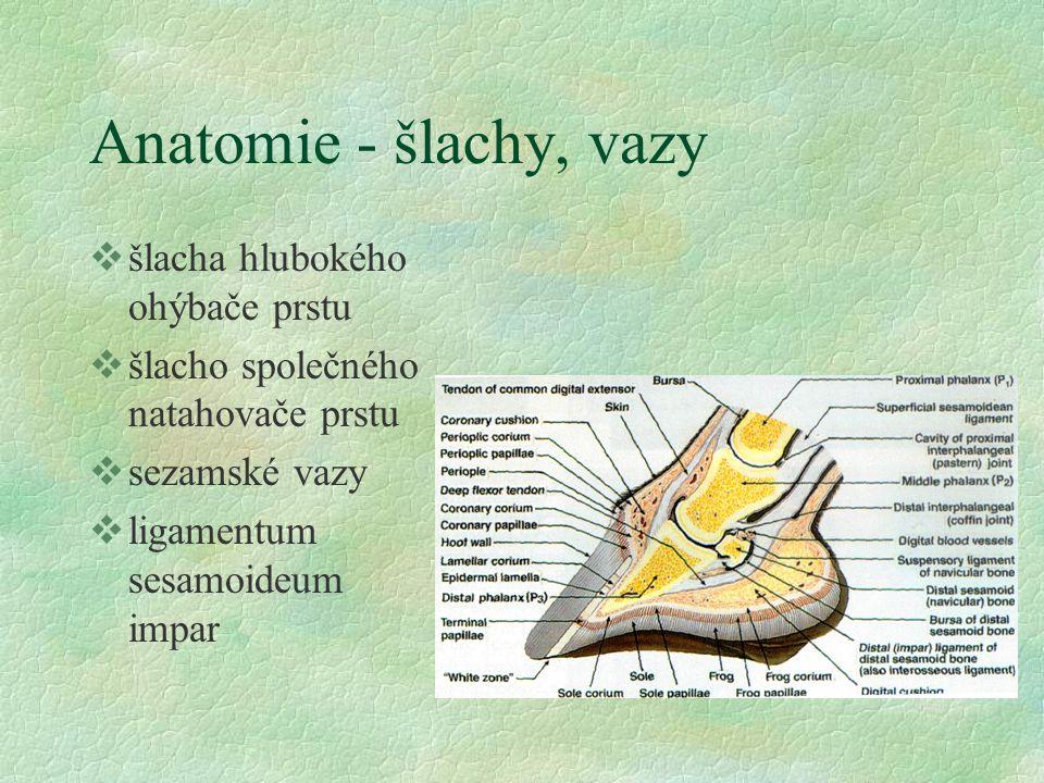 Anatomie - šlachy, vazy šlacha hlubokého ohýbače prstu