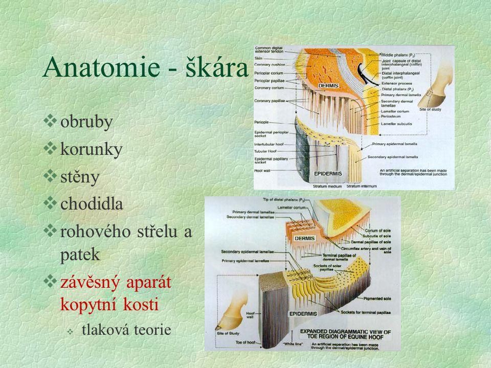 Anatomie - škára obruby korunky stěny chodidla rohového střelu a patek