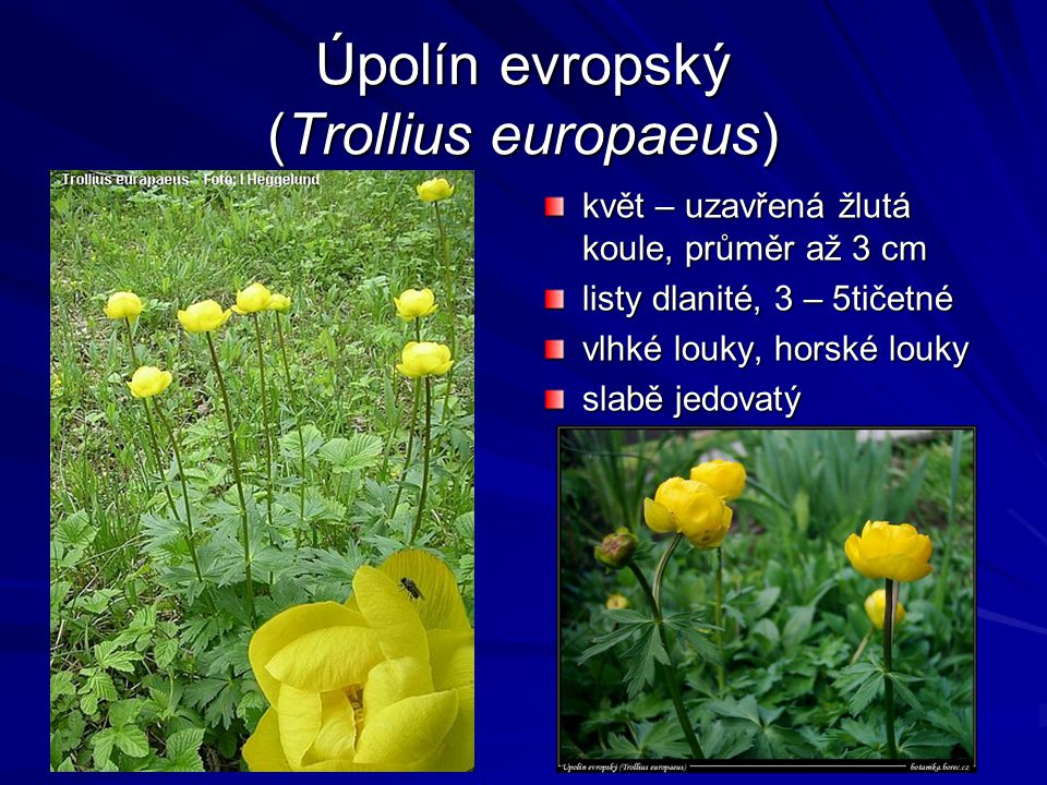 Úpolín evropský (Trollius europaeus)