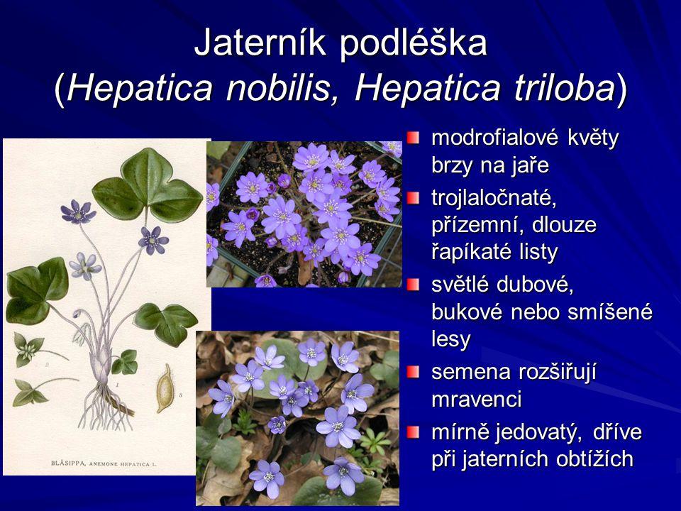 Jaterník podléška (Hepatica nobilis, Hepatica triloba)