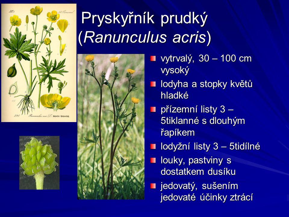 Pryskyřník prudký (Ranunculus acris)