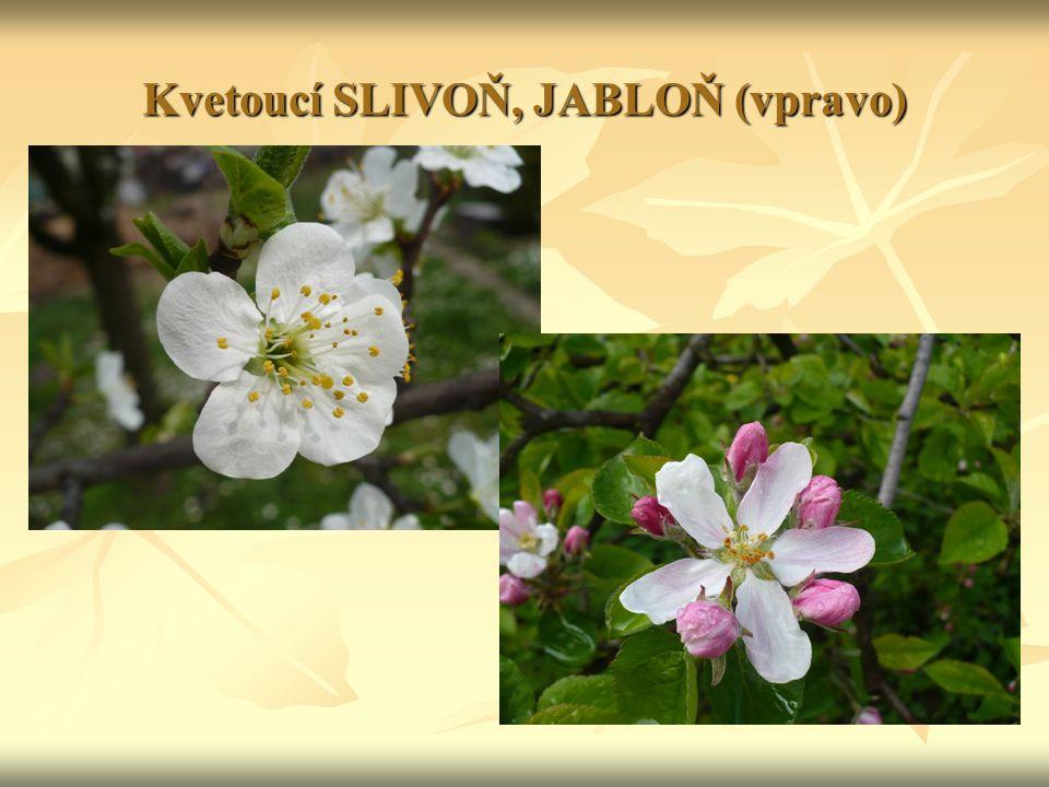 Kvetoucí SLIVOŇ, JABLOŇ (vpravo)