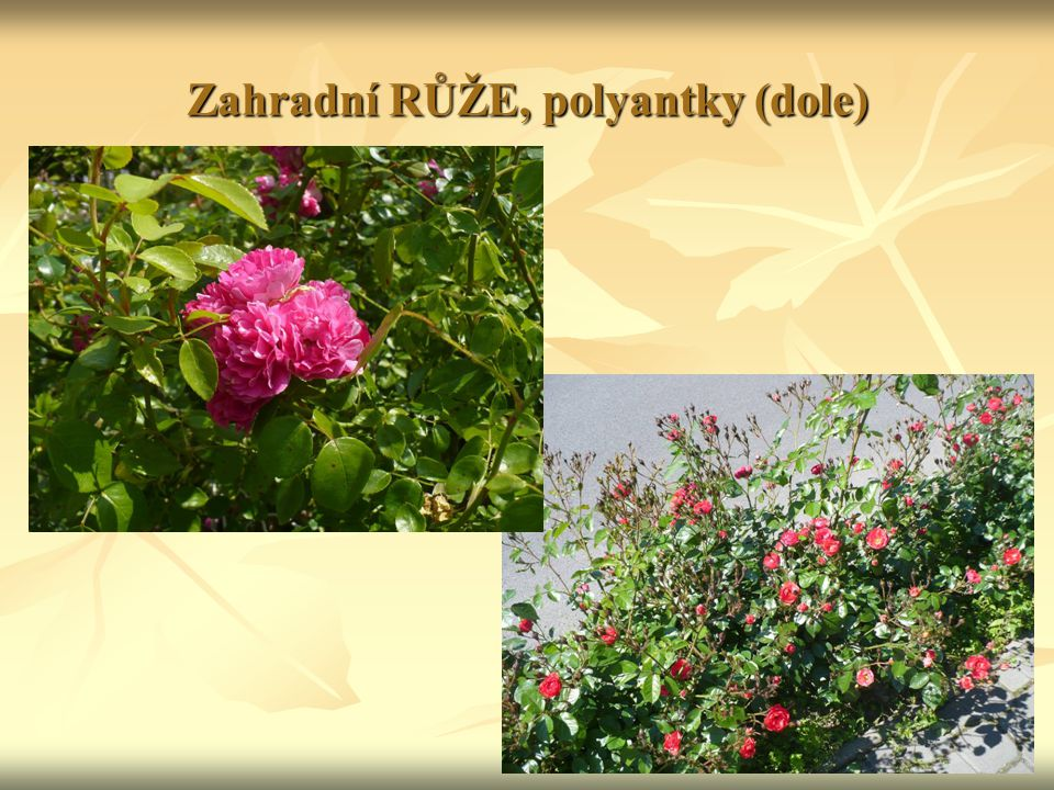 Zahradní RŮŽE, polyantky (dole)