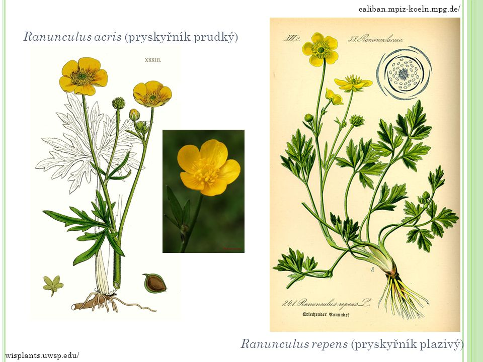 Ranunculus acris (pryskyřník prudký)