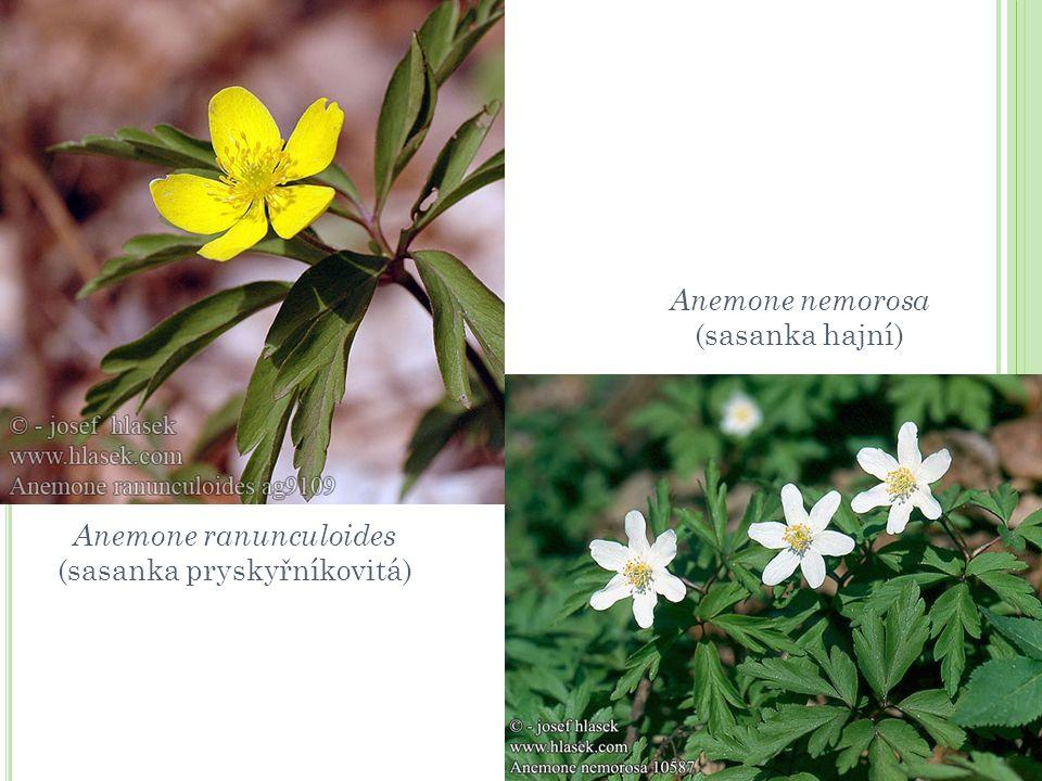 Anemone ranunculoides (sasanka pryskyřníkovitá)