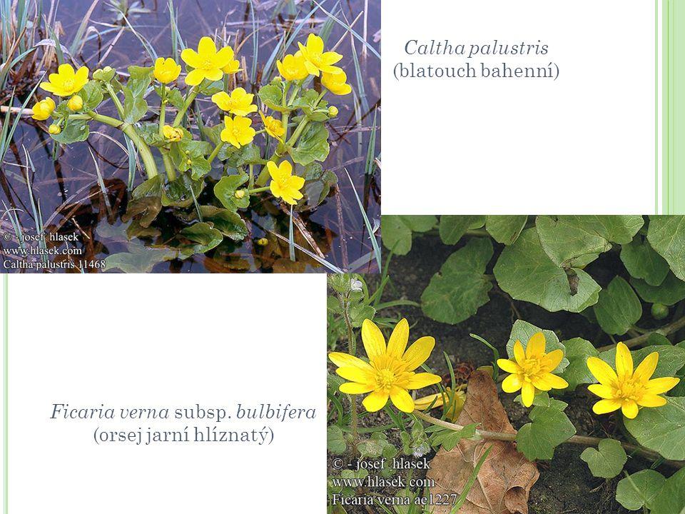 Ficaria verna subsp. bulbifera (orsej jarní hlíznatý)