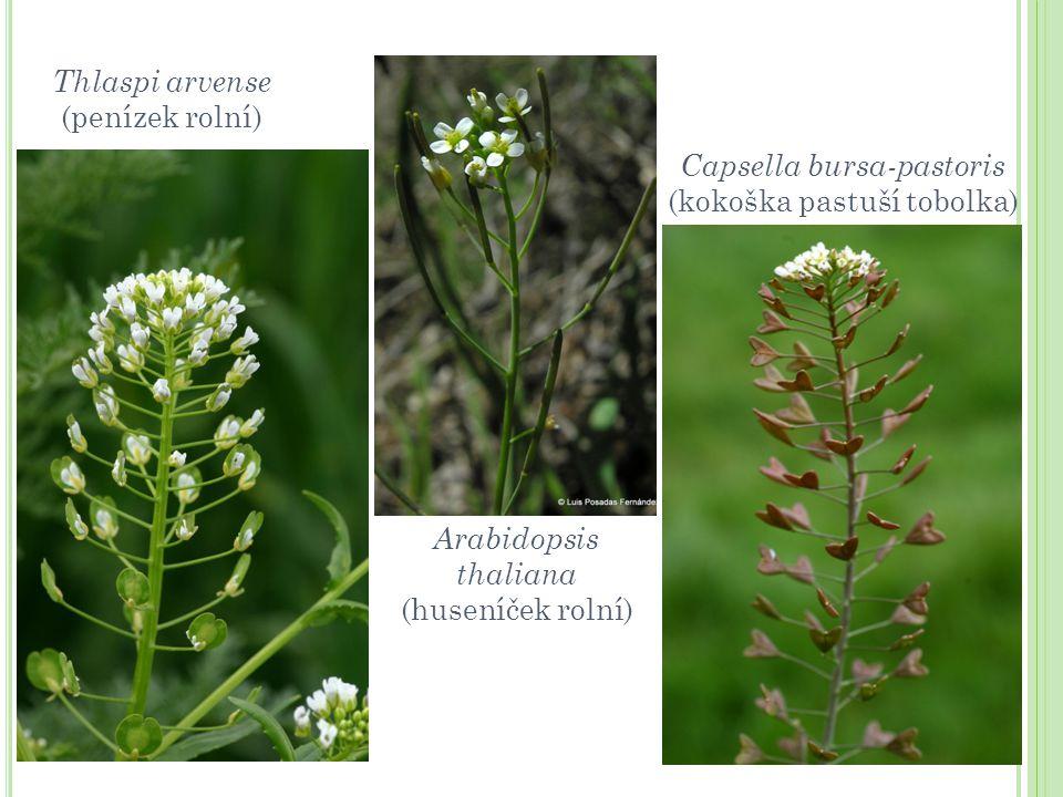 Capsella bursa-pastoris (kokoška pastuší tobolka)