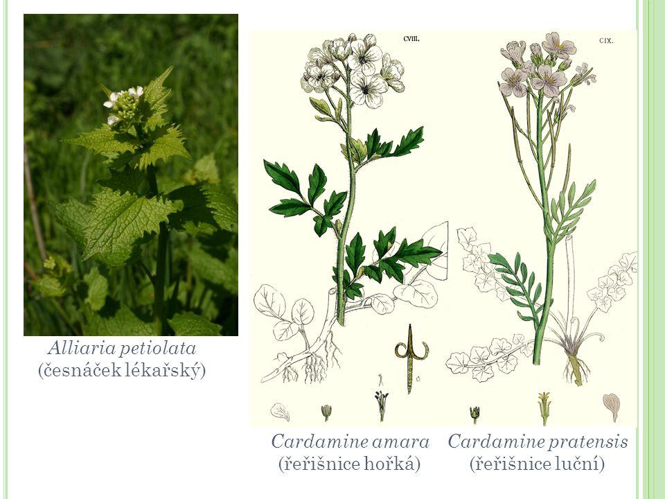 Alliaria petiolata (česnáček lékařský) Cardamine amara.