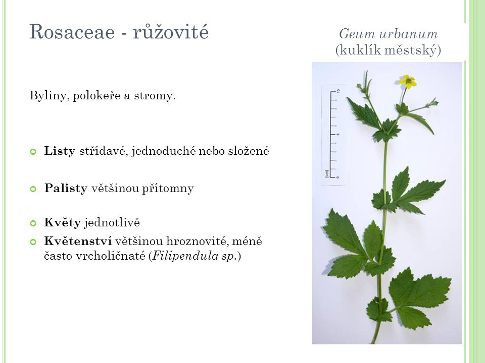 Rosaceae - růžovité Geum urbanum (kuklík městský)