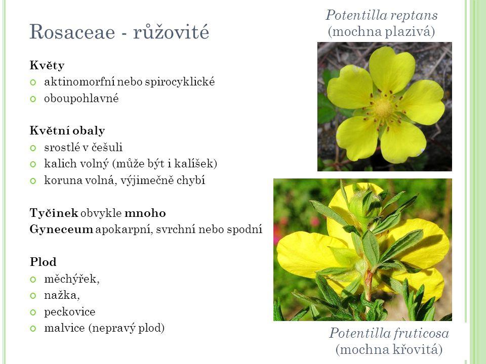 Rosaceae - růžovité Potentilla reptans (mochna plazivá)