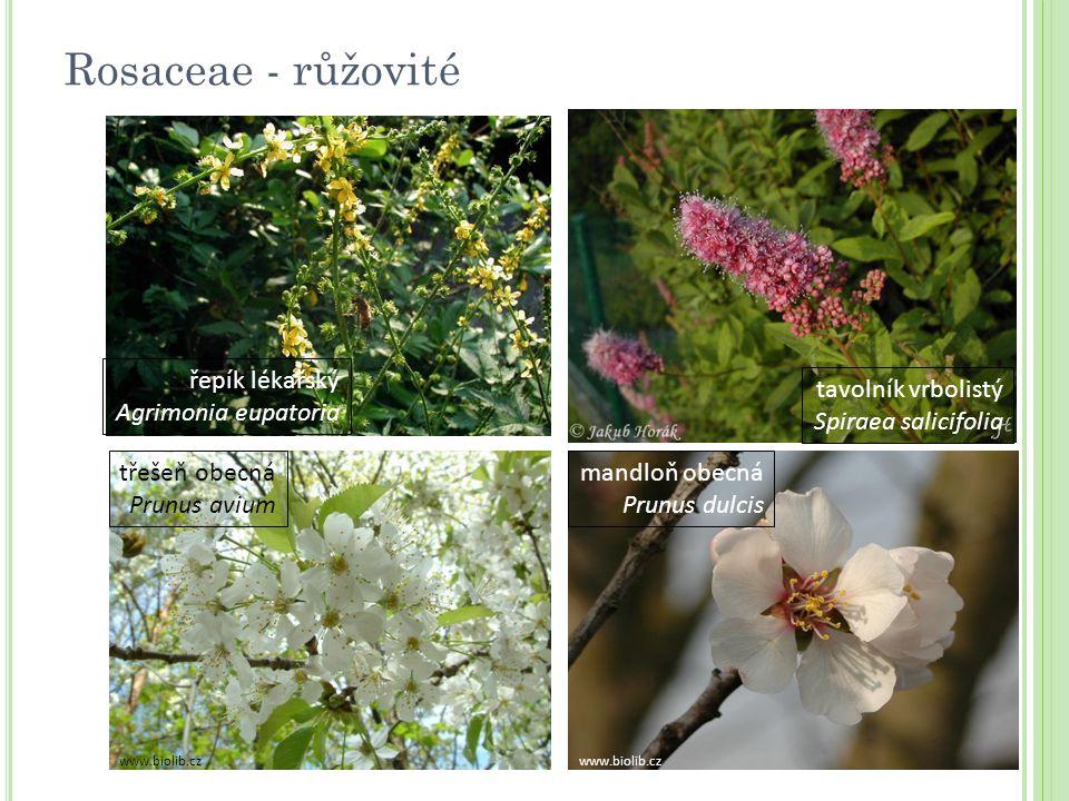 Rosaceae - růžovité řepík lékařský Agrimonia eupatoria